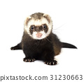 Ferret isolated on a white background 31230663