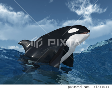 Killer whale in the stormy ocean 31234034
