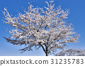 Blue Sky and Cherry Blossoms Spring Sayama Hills 31235783