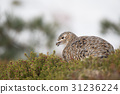 动物 野生鸟类 野鸟 31236224