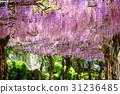 Onomichi Senkoji公园的紫藤格子 31236485