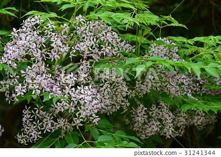 植物 花 樹 苦楝花 苦楝樹 苦苓樹 金鈴子 栴檀 森樹 紫花樹 紫 紫色 淡紫 淡紫色 風景  31241344