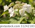 hydrangea, bud, bloom 31242183