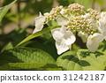 hydrangea, bud, bloom 31242187