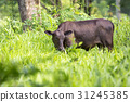 Image of black cow on nature background. Animal 31245385