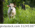 Image of white cow on nature background. Animal 31245387