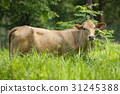 Image of brown cow on nature background. Animal 31245388