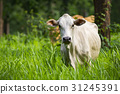 Image of white cow on nature background. Animal 31245391