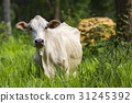 Image of white cow on nature background. Animal 31245392