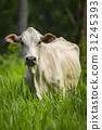 Image of white cow on nature background. Animal 31245393