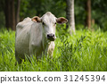 Image of white cow on nature background. Animal 31245394