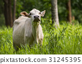 Image of white cow on nature background. Animal 31245395