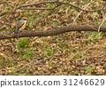 wild bird, bird, birds 31246629