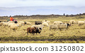 Sheep herding 31250802