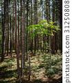 Forest in Michigan 31250808