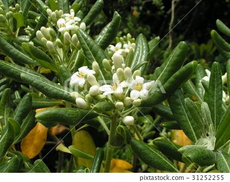 rhaphiolepis umbellata, bloom, blossom 31252255