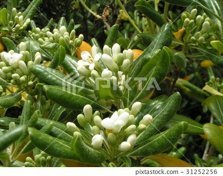 rhaphiolepis umbellata, bloom, blossom 31252256