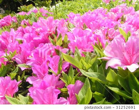 satsuki azalea, flower, flowers 31252691