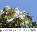 车轮梅猪苓 花朵 花卉 31252697