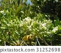 车轮梅猪苓 花朵 花卉 31252698