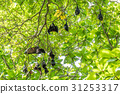 Flying foxes,the biggest bat on tree 31253317