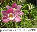 兰花 花朵 花卉 31256991