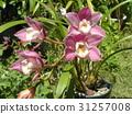 兰花 花朵 花卉 31257008