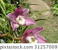 兰花 花朵 花卉 31257009