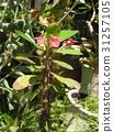 虎刺梅 花朵 花卉 31257105