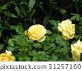 玫瑰 玫瑰花 花朵 31257160