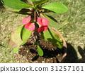 虎刺梅 花朵 花卉 31257161