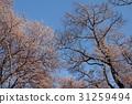 櫻花 櫻花盛開 櫻桃樹 31259494