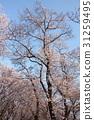 櫻花 櫻花盛開 櫻桃樹 31259495