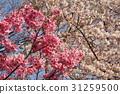櫻花 櫻花盛開 櫻桃樹 31259500