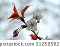 櫻花 櫻花盛開 櫻桃樹 31259502