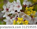 櫻花 櫻花盛開 櫻桃樹 31259505