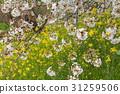 cherry blossom, cherry tree, spring 31259506