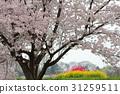 櫻花 櫻花盛開 櫻桃樹 31259511