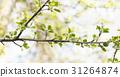 apple, branch, spring 31264874
