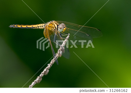 Image of dragonfly perched on a tree branch. 31266162
