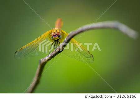 Image of dragonfly perched on a tree branch. 31266166