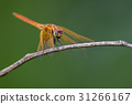 Image of dragonfly perched on a tree branch. 31266167