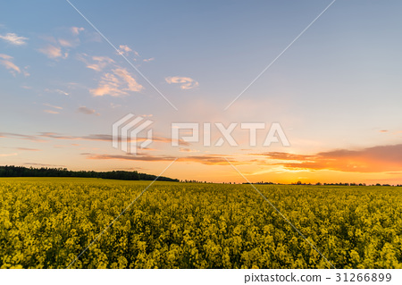 Rapeseed field with yellow plants after sunset 31266899