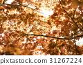 雞爪槭 31267224