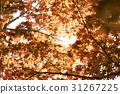 雞爪槭 31267225
