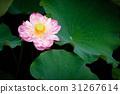 莲花 开花 绿叶 31267614
