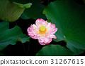 莲花 开花 绿叶 31267615