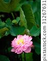 莲花 花朵 花卉 31267631