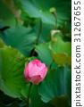 莲花 花朵 花卉 31267655