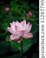 莲花 花朵 花卉 31267740